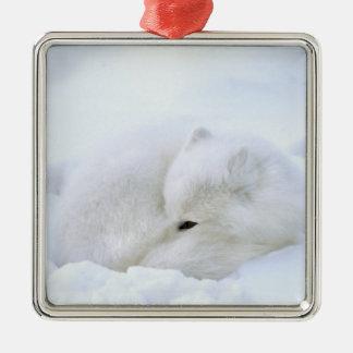 Canada, Manitoba, Churchill. Artic fox with Metal Ornament