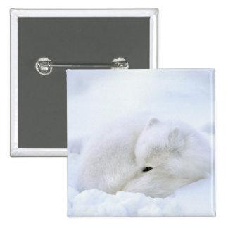 Canada, Manitoba, Churchill. Artic fox with Pinback Button