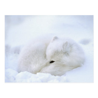 Canada, Manitoba, Churchill. Artic fox with Postcard