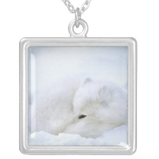 Canada, Manitoba, Churchill. Artic fox with Silver Plated Necklace