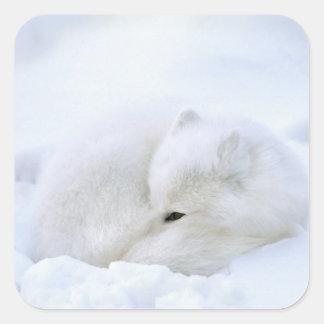 Canada, Manitoba, Churchill. Artic fox with Square Sticker