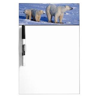 Canada, Manitoba, Churchill. Polar bear mother Dry-Erase Board