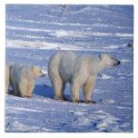 Canada, Manitoba, Churchill. Polar bear mother Large Square Tile