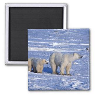 Canada, Manitoba, Churchill. Polar bear mother Magnet
