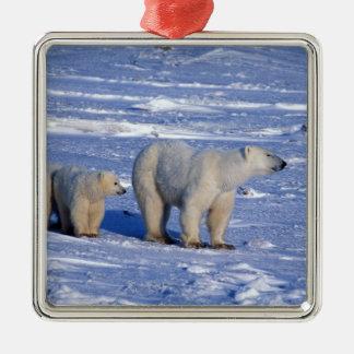 Canada, Manitoba, Churchill. Polar bear mother Metal Ornament