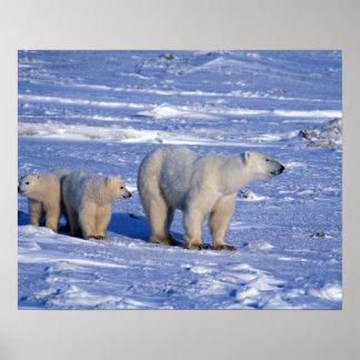 Canada, Manitoba, Churchill. Polar bear mother Poster