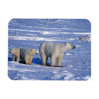 Canada, Manitoba, Churchill. Polar bear mother Rectangular Photo Magnet