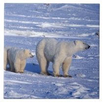 Canada, Manitoba, Churchill. Polar bear mother Tile