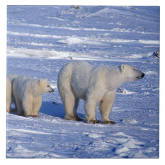 Canada, Manitoba, Churchill. Polar bear mother Tile