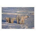 Canada, Manitoba, Churchill. Polar bear mother Wood Wall Art