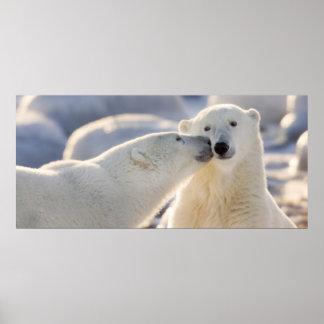 Canada, Manitoba, Hudson Bay, Churchill. Polar Poster