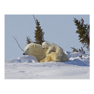 Canada, Manitoba, Wapusk National Park. Polar 2 Postcard