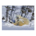 Canada, Manitoba, Wapusk National Park. Polar 5 Post Cards