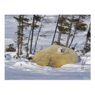 Canada, Manitoba, Wapusk National Park. Polar 6 Postcard