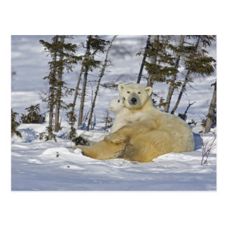 Canada, Manitoba, Wapusk National Park. Polar 7 Postcard