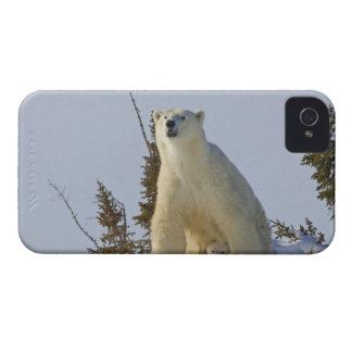 Canada, Manitoba, Wapusk National Park. Polar iPhone 4 Case