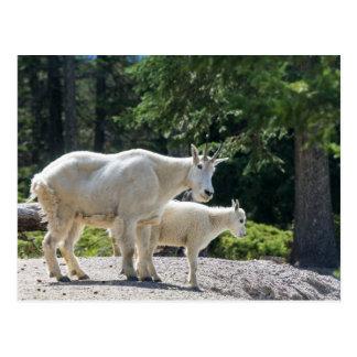 Canada - Mountain Goats postcard