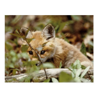 Canada, Point Pelee National Park. Young red fox Postcard