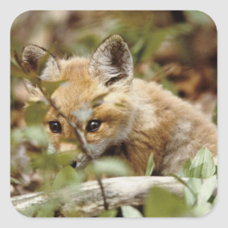 Canada, Point Pelee National Park. Young red fox Square Sticker
