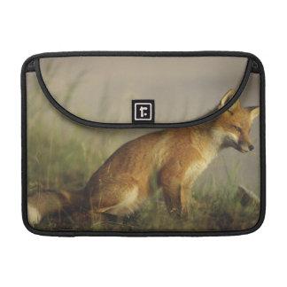 Canadá, Quebec. Cachorro del zorro rojo en la sali Fundas Para Macbooks