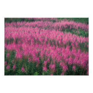 Canadá, Quebec, Gaspe. Flores púrpuras del Lythrum Fotografías