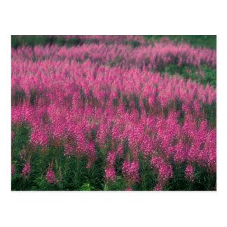 Canadá, Quebec, Gaspe. Flores púrpuras del Postales