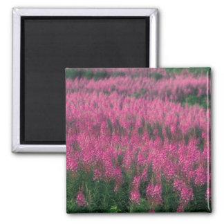 Canada, Quebec, Gaspe. Purple Lythrum Flowers, 2 Inch Square Magnet