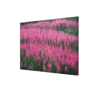 Canada, Quebec, Gaspe. Purple Lythrum Flowers, Canvas Print