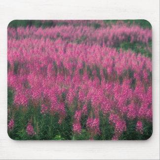 Canada, Quebec, Gaspe. Purple Lythrum Flowers, Mouse Pad