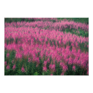Canada, Quebec, Gaspe. Purple Lythrum Flowers, Photo Print