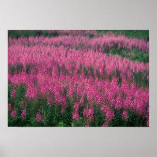 Canada, Quebec, Gaspe. Purple Lythrum Flowers, Poster