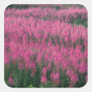 Canada, Quebec, Gaspe. Purple Lythrum Flowers, Square Sticker