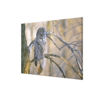 Canada, Quebec. Great gray owl perched on tree Stretched Canvas Print