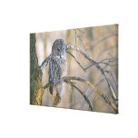 Canada, Quebec. Great gray owl perched on tree Canvas Print