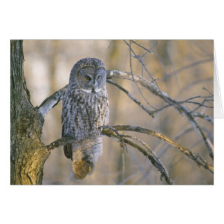 Canada, Quebec. Great gray owl perched on tree Greeting Card