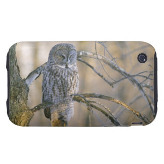 Canada, Quebec. Great gray owl perched on tree iPhone 3 Tough Case