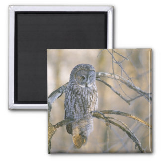 Canada, Quebec. Great gray owl perched on tree Magnet