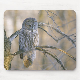 Canada, Quebec. Great gray owl perched on tree Mouse Pad