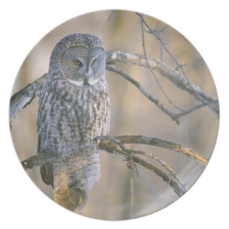 Canada, Quebec. Great gray owl perched on tree Plates