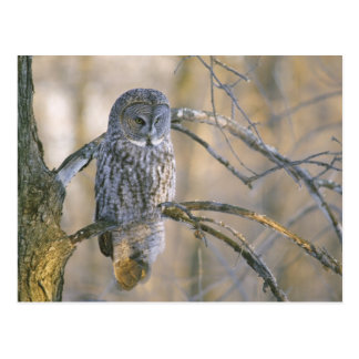 Canada, Quebec. Great gray owl perched on tree Postcard