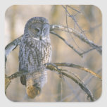 Canada, Quebec. Great gray owl perched on tree Square Sticker