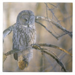 Canada, Quebec. Great gray owl perched on tree Tile