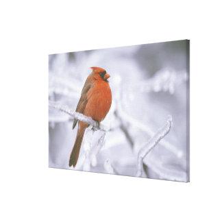 Canada, Quebec. Male northern cardinal on limb Canvas Prints