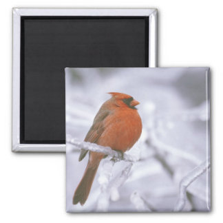 Canada, Quebec. Male northern cardinal on limb Fridge Magnets