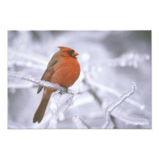 Canada, Quebec. Male northern cardinal on limb Photo Print