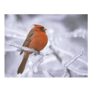 Canada, Quebec. Male northern cardinal on limb Postcard