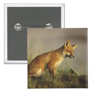 Canada, Quebec. Red fox cub at sunrise. Credit Pinback Button