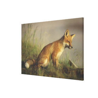 Canada, Quebec. Red fox cub at sunrise. Credit Stretched Canvas Print