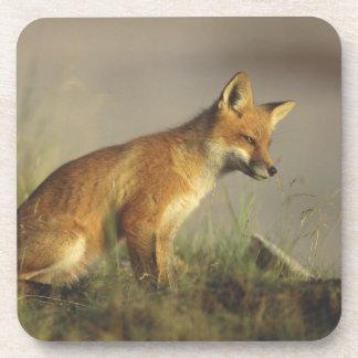 Canada, Quebec. Red fox cub at sunrise. Credit Coaster