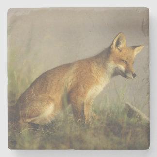 Canada, Quebec. Red fox cub at sunrise. Credit Stone Beverage Coaster